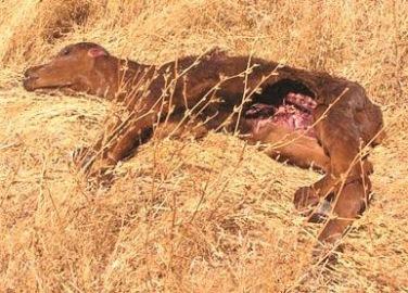 Mysterious Phenomena: Cattle Mutilations Alien or Secret Military